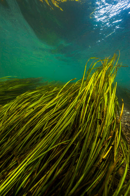 JDL400181U © Stocktrek Images, Inc. Texas Wild Rice of the San Marcos River, Texas.