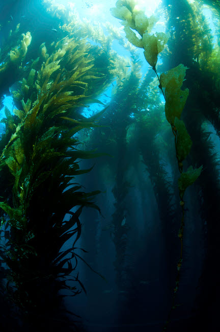 MBE400057U © Stocktrek Images, Inc. Kelp forest (macrocystis), Pyramid Rock, San Benitos, Mexico.
