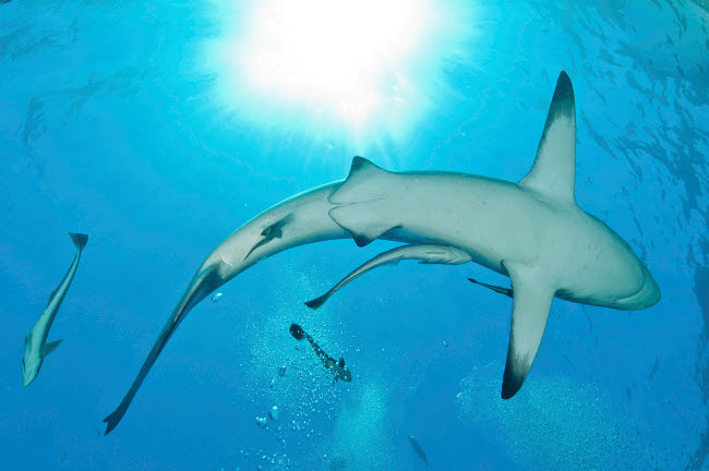 MME400463U © Stocktrek Images, Inc. Sunrays shining on an oceanic blacktip shark with remora.
