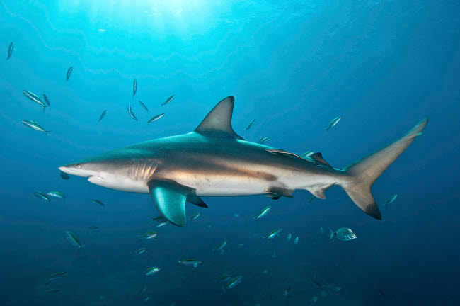 MME400465U © Stocktrek Images, Inc. Oceanic blacktip shark with remora in the waters of Aliwal Shoal, South Africa.
