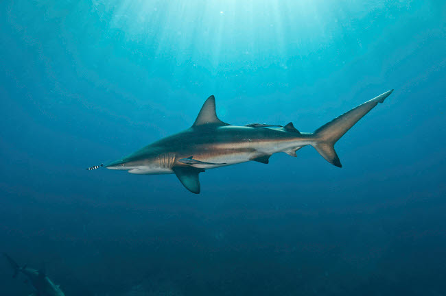 MME400467U © Stocktrek Images, Inc. Oceanic blacktip shark with remora in the waters of Aliwal Shoal, South Africa.
