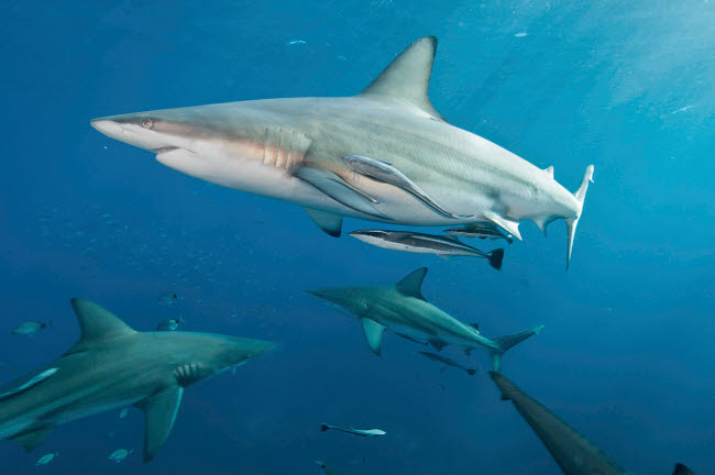 MME400471U © Stocktrek Images, Inc. Oceanic blacktip sharks with remora in the waters of Aliwal Shoal, South Africa.