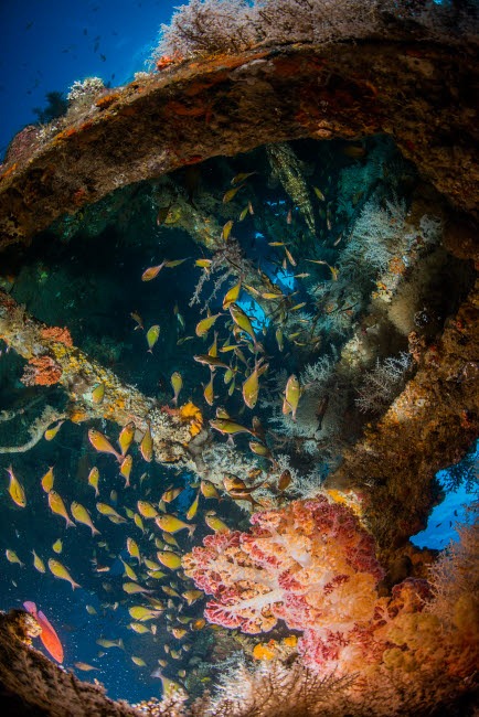 MME400696U © Stocktrek Images, Inc. Dendronephthya and school of cardinalfish inside the Liberty Wreck, Bali, Indonesia.