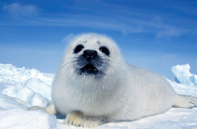 VWP400003U © Stocktrek Images, Inc. A young harp seal laying on an ice floe, Canada.