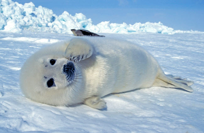 VWP400005U © Stocktrek Images, Inc. A young harp seal laying on an ice floe, Canada.