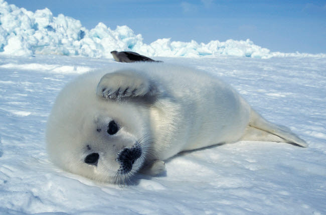 VWP400006U © Stocktrek Images, Inc. A young harp seal laying on an ice floe, Canada.