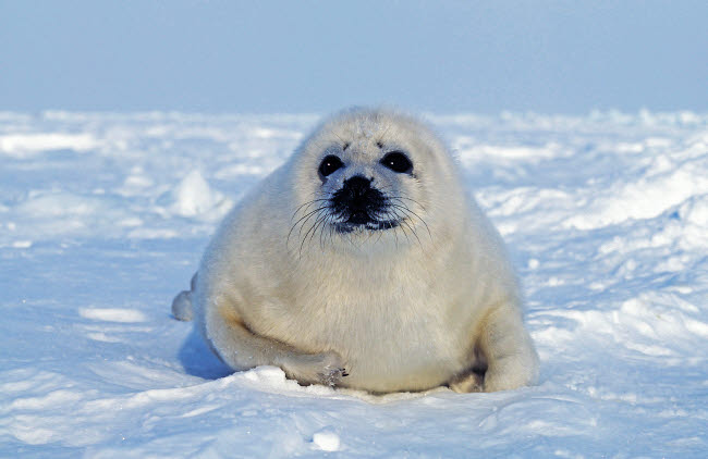 VWP400007U © Stocktrek Images, Inc. A young harp seal laying on ice, Canada.