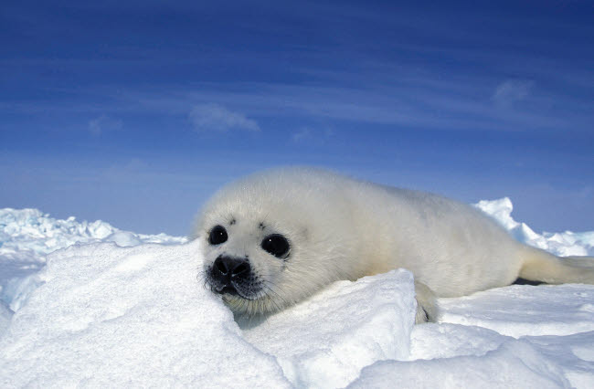 VWP400009U © Stocktrek Images, Inc. A young harp seal laying on an icefield, Canada.