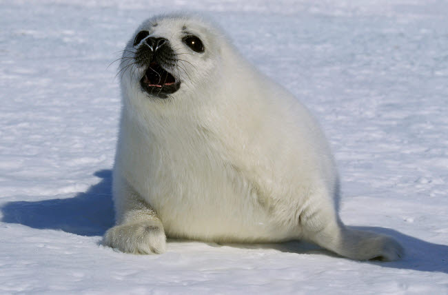 VWP400010U © Stocktrek Images, Inc. A young harp seal calling for its mother, Canada.