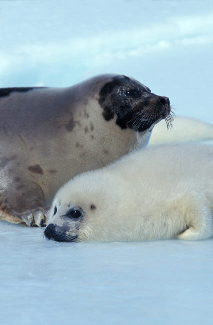 VWP400011U © Stocktrek Images, Inc. A young harp seal laying with its mother, Canada.