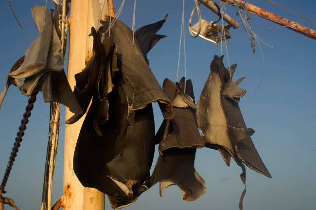 VWP400016U © Stocktrek Images, Inc. Shark fins drying in the sun on a commercial fishing vessel.