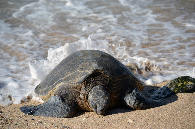 VWP400045U © Stocktrek Images, Inc. Green sea turtle rests in the sand of Ho'okipa Beach, Maui, Hawaii.