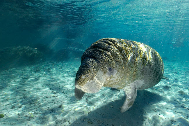 VWP400116U © Stocktrek Images, Inc. Young Florida manatee swimming in the Crystal River, Florida.