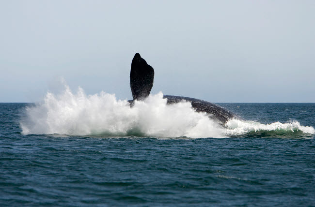 VWP400297U © Stocktrek Images, Inc. An adult southern right whale falling back into the sea at the end of a breach.