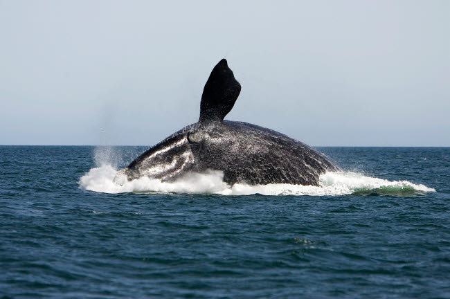 VWP400298U © Stocktrek Images, Inc. An adult southern right whale breaching the waters off Argentina.
