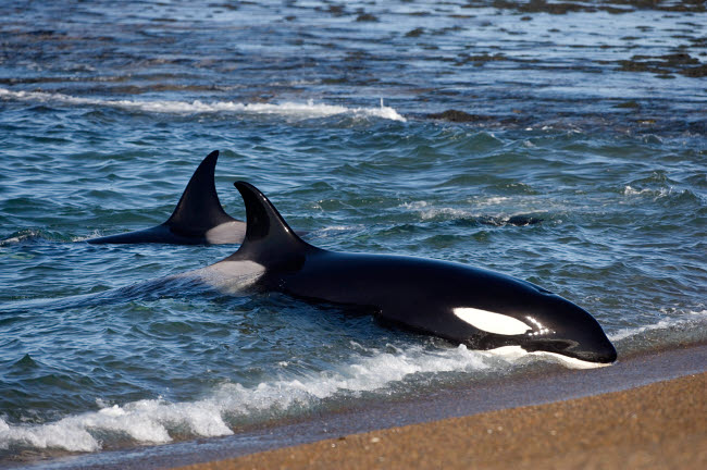 VWP400380U © Stocktrek Images, Inc. A killer whale practicing intentional stranding in the waters off Argentina.