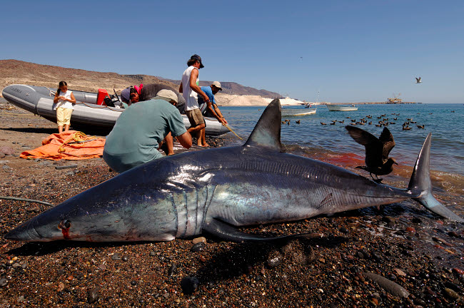 VWP400540U © Stocktrek Images, Inc. Shark fishing mako shark on the Sea of Cortez, Mexico.