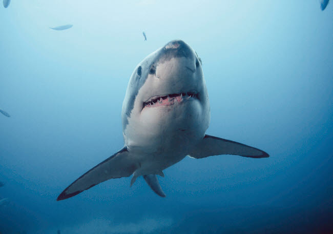 VWP401285U © Stocktrek Images, Inc. Great white shark (Carcharodon carcharias), Victoria, Australia.