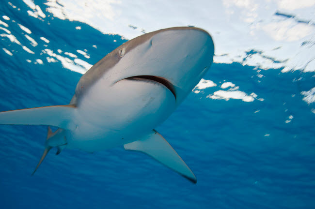 VWP401304U © Stocktrek Images, Inc. Low angle view of a silky shark  in the Coral Sea.