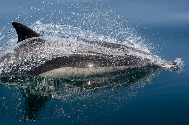 VWP401461U © Stocktrek Images, Inc. Common dolphin (Delphinus delphis) jumping out of the water.