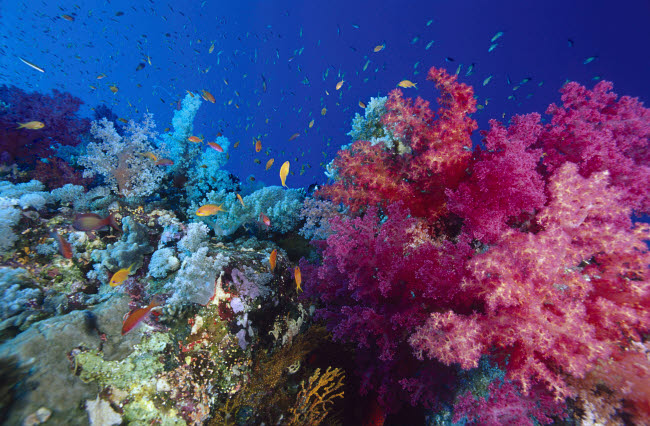 VWP401525U © Stocktrek Images, Inc. Colorful soft coral reefscape in the Red Sea.