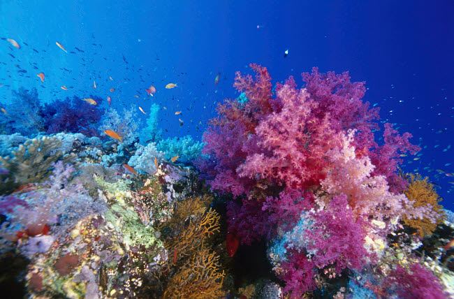 VWP401526U © Stocktrek Images, Inc. Colorful soft coral reefscape in the Red Sea.