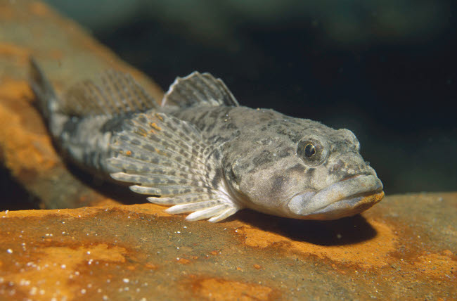 VWP401533U © Stocktrek Images, Inc. European bullhead (Cottus gobio)