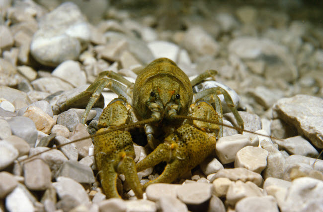 VWP401534U © Stocktrek Images, Inc. Stone crayfish, Kalkapen National Park, Austria.